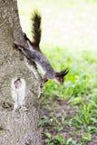 Scoiattolo grigio in foresta fotografie stock libere da diritti