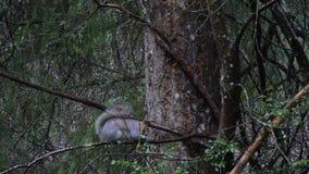 Scoiattolo grigio grasso che mangia sui rami bagnati in foresta video d archivio