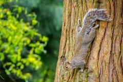 Scoiattolo grigio su un albero fotografie stock