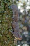 Scoiattolo grigio sull'albero Fotografie Stock Libere da Diritti