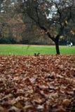 Scoiattolo in Hyde Park Fotografia Stock Libera da Diritti
