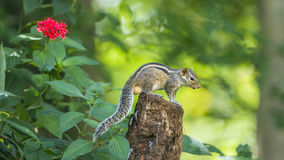 Scoiattolo indiano della palma nel parco nazionale di Minneriya, Sri Lanka Immagini Stock