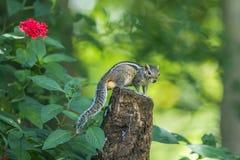 Scoiattolo indiano della palma nel parco nazionale di Minneriya, Sri Lanka Fotografia Stock