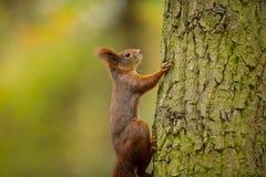 scoiattolo Lo scoiattolo è stato fotografato in repubblica Ceca Lo scoiattolo è un roditore di medie dimensioni fotografia stock