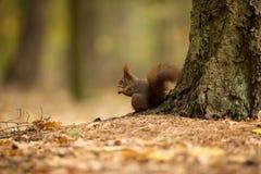 scoiattolo Lo scoiattolo è stato fotografato in repubblica Ceca Lo scoiattolo è un roditore di medie dimensioni fotografie stock