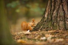 scoiattolo Lo scoiattolo è stato fotografato in repubblica Ceca Lo scoiattolo è un roditore di medie dimensioni immagine stock libera da diritti