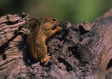 scoiattolo messicano a terra Immagini Stock Libere da Diritti