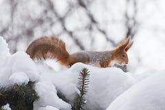 Scoiattolo nell'inverno Fotografia Stock Libera da Diritti