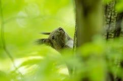 Scoiattolo nella foresta Fotografia Stock Libera da Diritti
