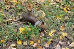 Scoiattolo nella foresta di autunno Fotografie Stock Libere da Diritti