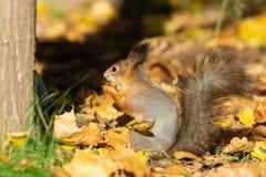 Scoiattolo nella sosta di autunno immagine stock