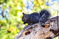 Scoiattolo in parco nazionale di Yosemite Fotografie Stock