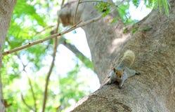 Scoiattolo piccolo sull'albero Immagini Stock Libere da Diritti