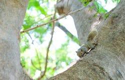 Scoiattolo piccolo sull'albero Immagini Stock