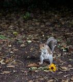 scoiattolo przeciwu fiore Obrazy Royalty Free