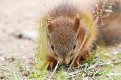 scoiattolo rosso fotografia stock