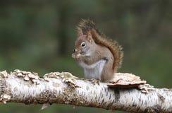 Scoiattolo rosso americano che si siede su un ramo di albero Fotografia Stock Libera da Diritti
