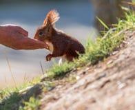 Scoiattolo rosso che mangia dalla mano di un uomo fotografia stock