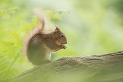 Scoiattolo rosso che mangia su un tronco di albero Fotografie Stock