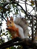 Scoiattolo rosso che mangia sull'albero Fotografie Stock