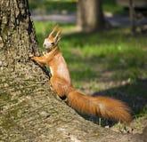 Scoiattolo rosso che scala in un albero fotografia stock libera da diritti