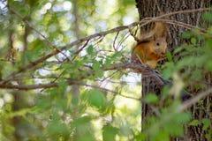 Scoiattolo rosso che si siede su un albero e che mangia ad un parco della città o ad una foresta locale, giorno di estate soleggi Fotografia Stock
