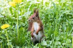 Scoiattolo rosso che sta nell'erba verde con i denti di leone crescenti Cl Fotografia Stock