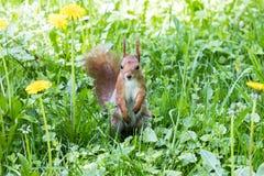 Scoiattolo rosso che sta sull'erba fresca verde con giallo di fioritura Fotografia Stock