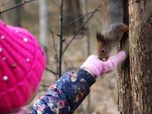 Scoiattolo rosso curioso che dà una occhiata dietro il tronco di albero immagini stock libere da diritti
