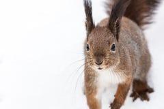 Scoiattolo rosso curioso con la coda lanuginosa che si siede sulla neve bianca Immagini Stock Libere da Diritti