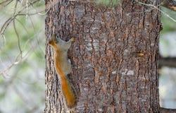 Scoiattolo rosso di primavera arancio ardente, integrale su un albero Piccolo funzionamento rapido della creatura del terreno bos Immagine Stock