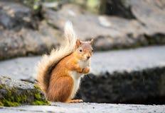 Scoiattolo rosso, distretto del lago, Regno Unito Immagine Stock