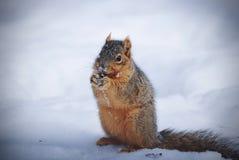 Scoiattolo rosso dolce che mangia diritto su nella neve Fotografia Stock