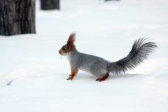 Scoiattolo rosso in inverno fotografia stock