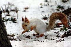Scoiattolo rosso in inverno immagini stock libere da diritti