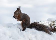 Scoiattolo rosso nella regione selvaggia di inverno Immagine Stock Libera da Diritti