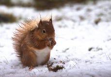 Scoiattolo rosso in neve Fotografie Stock Libere da Diritti