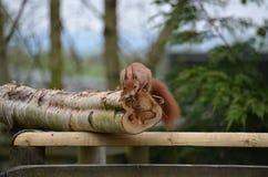 Scoiattolo, rosso (Sciurus vulgaris) Fotografie Stock Libere da Diritti