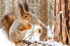 Scoiattolo rosso sull'alimentatore nella foresta di inverno fotografie stock