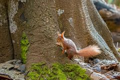 Scoiattolo rosso sulla base dell'albero Fotografia Stock Libera da Diritti