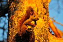 Scoiattolo rosso sveglio sull'albero in autunno Fotografia Stock Libera da Diritti