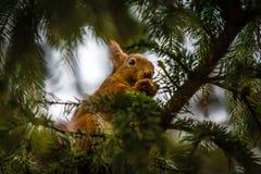 Scoiattolo rosso in un albero, Stoccolma, Svezia Fotografia Stock