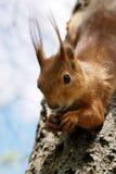 scoiattolo sorridente Immagini Stock Libere da Diritti