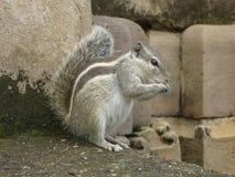 Scoiattolo a strisce che mangia una nocciola su un fondo di pietra immagine stock