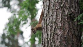 Scoiattolo su un albero stock footage