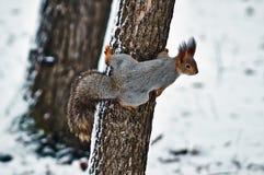 Scoiattolo su un albero. Immagine Stock Libera da Diritti