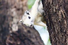 Scoiattolo su un albero Fotografia Stock Libera da Diritti