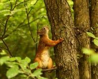 Scoiattolo su un albero Immagini Stock Libere da Diritti