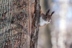 Scoiattolo su un albero Immagine Stock Libera da Diritti