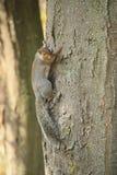 Scoiattolo su un albero Immagini Stock